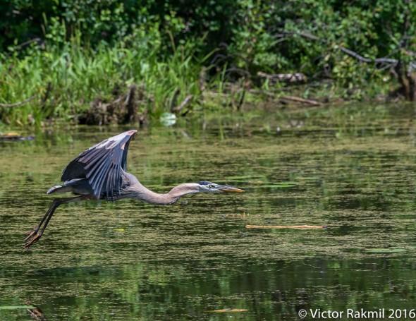 great-blue-heron-in-flight-3