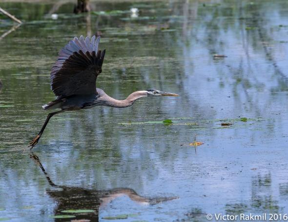 great-blue-heron-in-flight-4