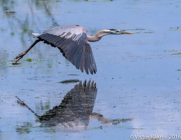 great-blue-heron-in-flight-5