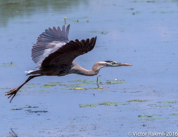 great-blue-heron-in-flight-7