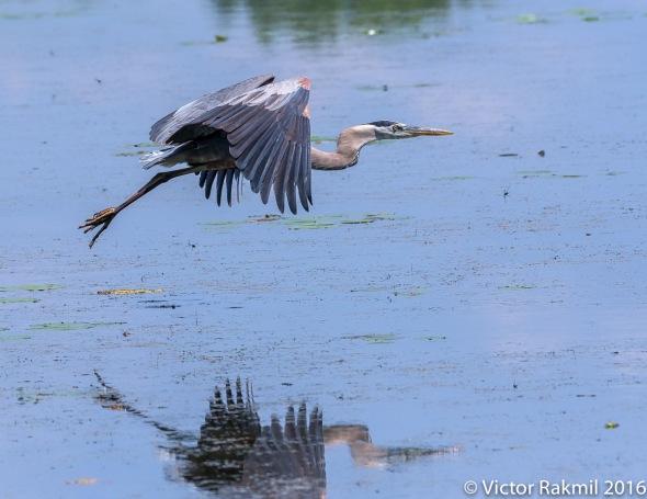 great-blue-heron-in-flight-8