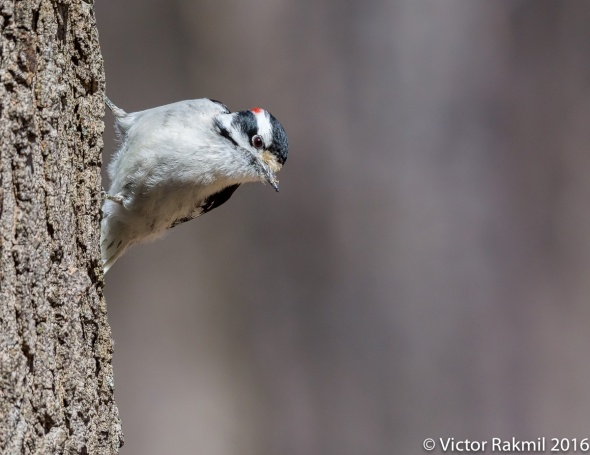 hairy-woodpecker-2