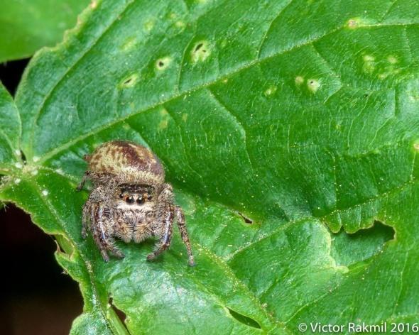 jumping-spider