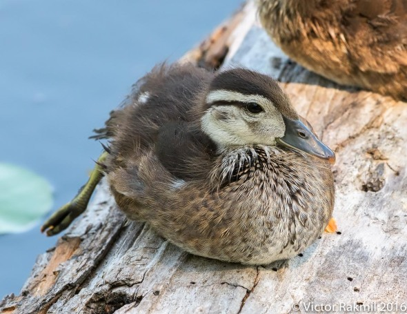 mallard-chicks