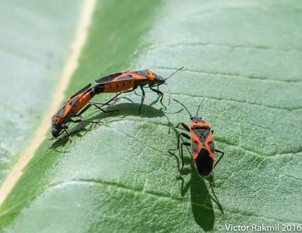 milkweed-bugs-2