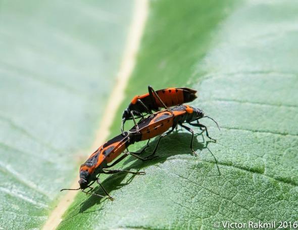 milkweed-bugs-4