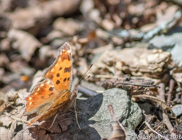 satyr-comma-butterfly-2