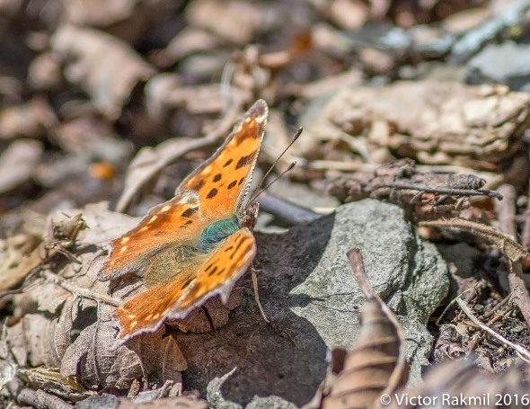 satyr-comma-butterfly-3