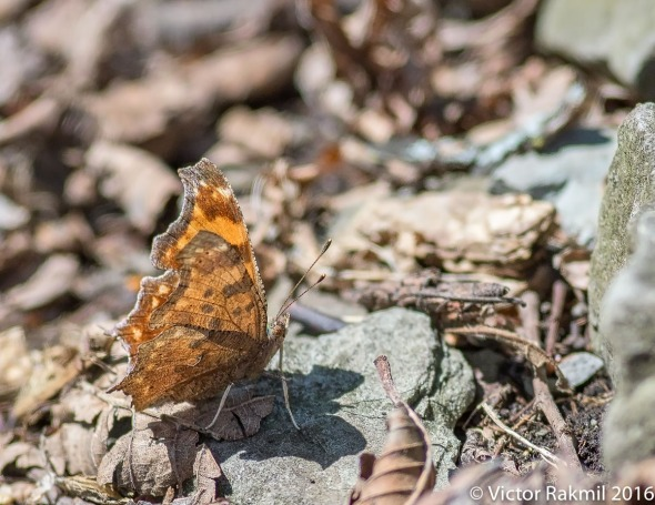 satyr-comma-butterfly