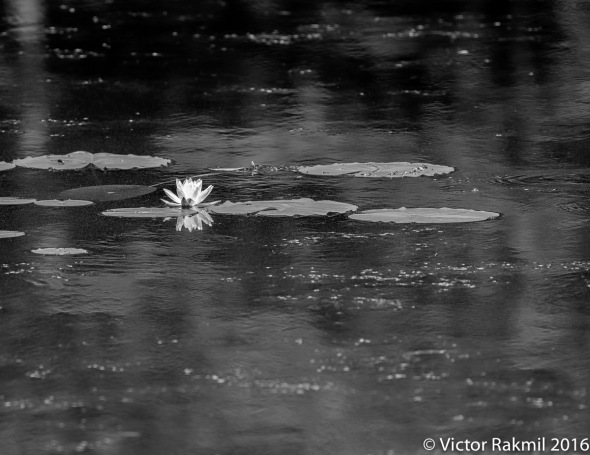 bw-lilies-3