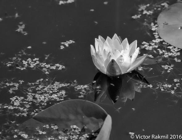 bw-lilies