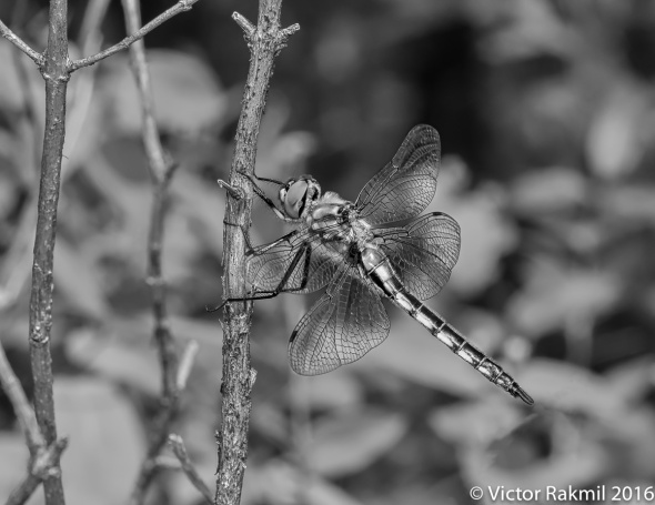 dragonflies-in-bw-2