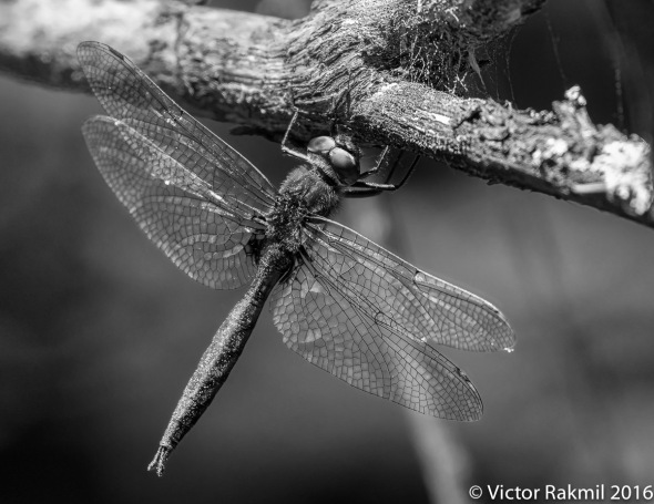 dragonflies-in-bw-3