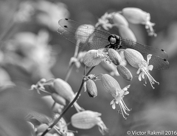 dragonflies-in-bw-4