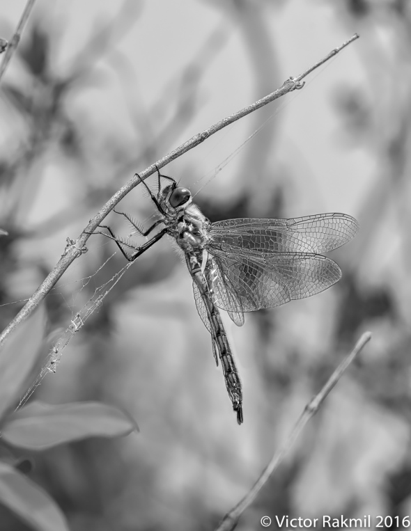 dragonflies-in-bw