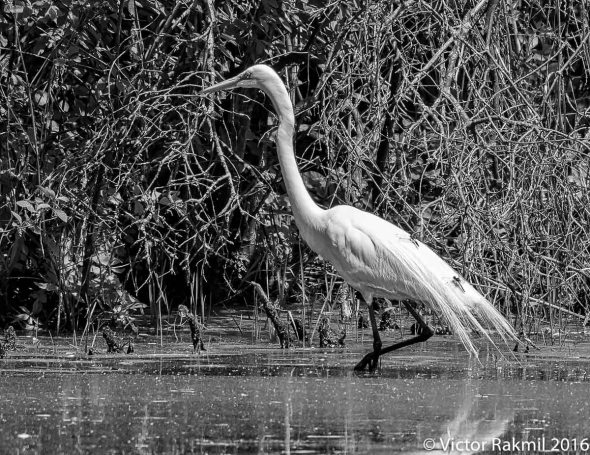 egrets-with-dragonflies-2