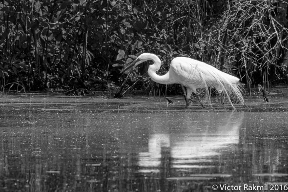 egrets-with-dragonflies-4