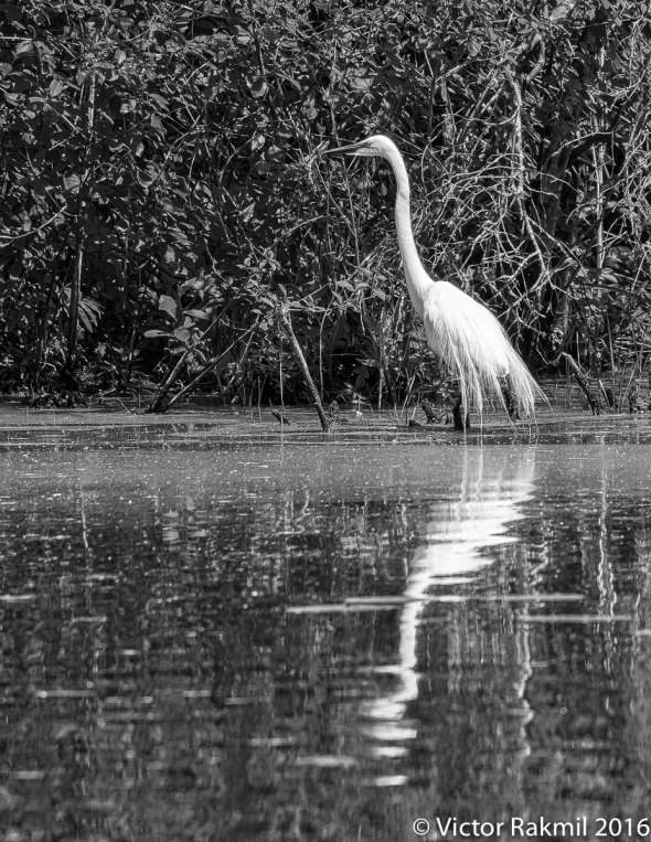 egrets-with-dragonflies-5