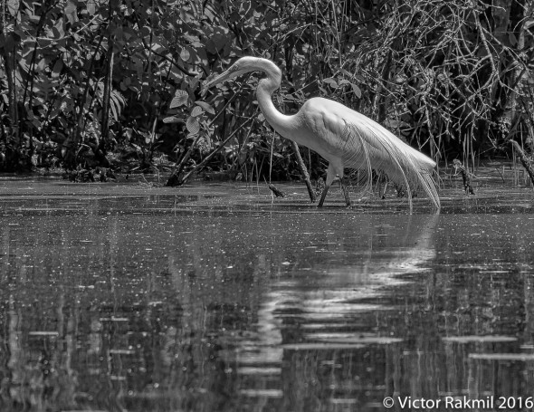egrets-with-dragonflies