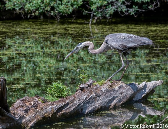 great-blue-heron-4