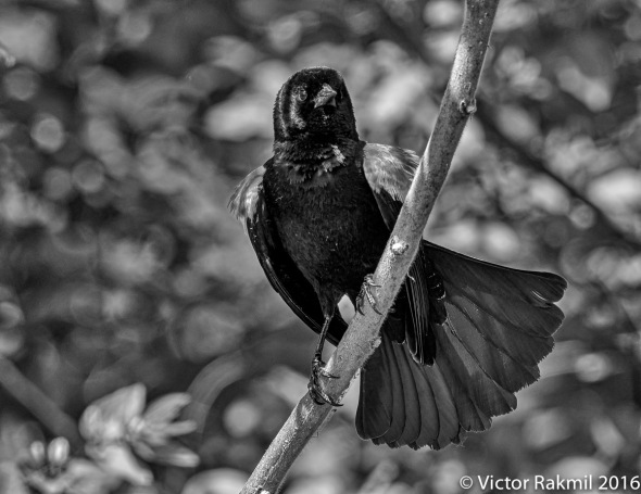 re-winged-blackbird-3