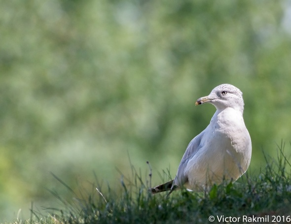 seagull-3
