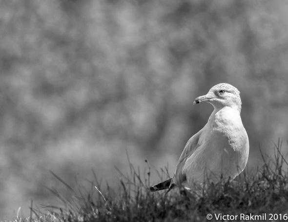 seagull-4