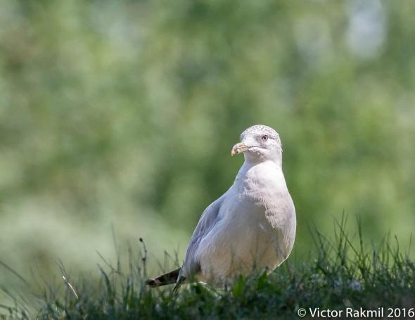 seagull-5