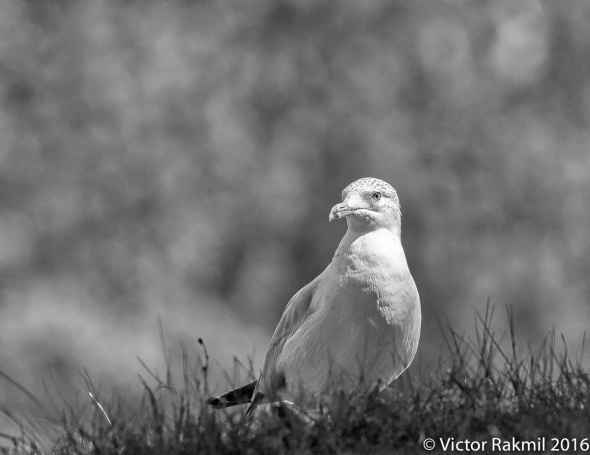 seagull-6