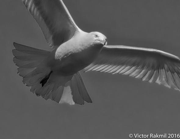 seagulls-4