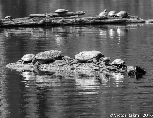 snapping-turtles-2
