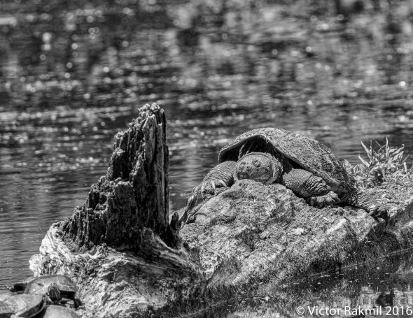 snapping-turtles-3