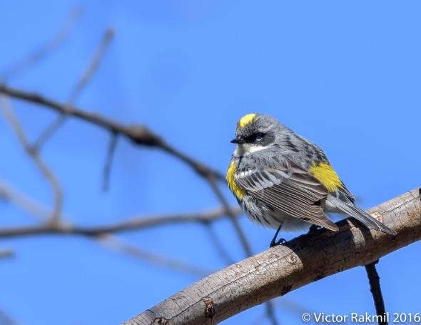 yellow-rump