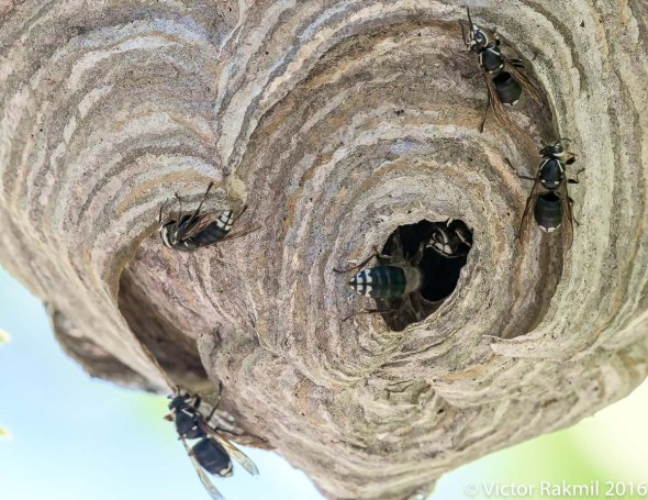 bald-faced-wasps-4
