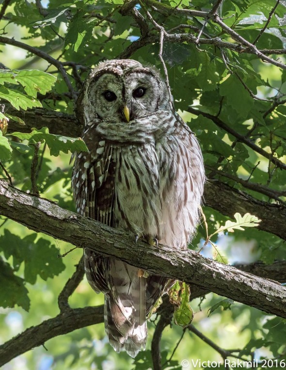 barred-owl-3