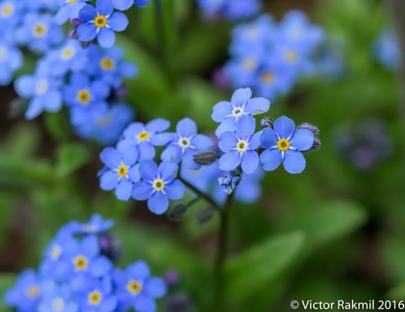 blue-flowers-3