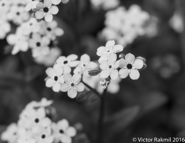 blue-flowers-4