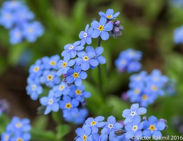 blue-flowers-5