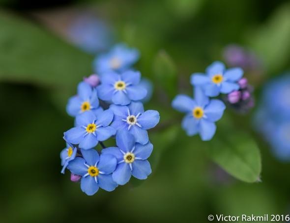 blue-flowers-7