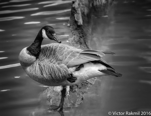 canada-geese-2