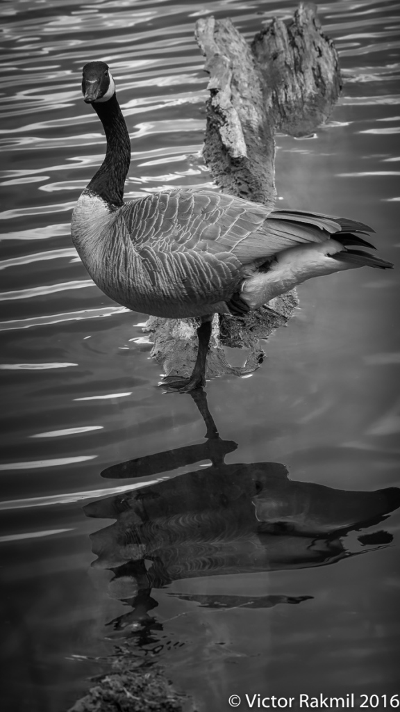 canada-geese-4