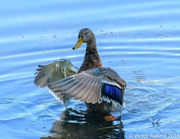 dancing-duck-2