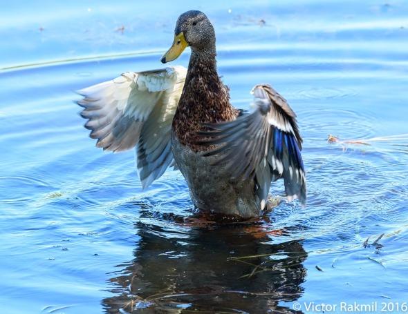 dancing-duck-3