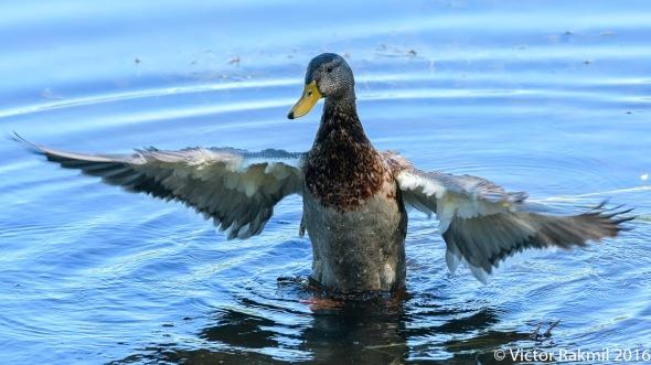 dancing-duck-4
