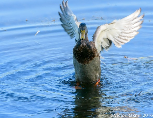 dancing-duck-5