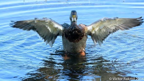 dancing-duck-6