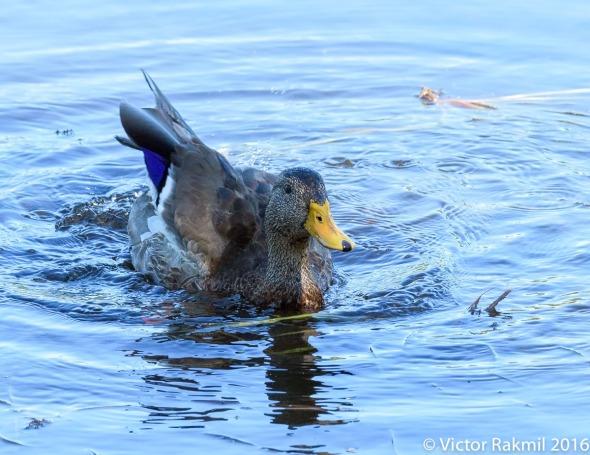 dancing-duck-7