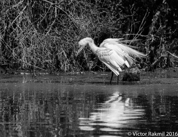 egret-in-bw-2