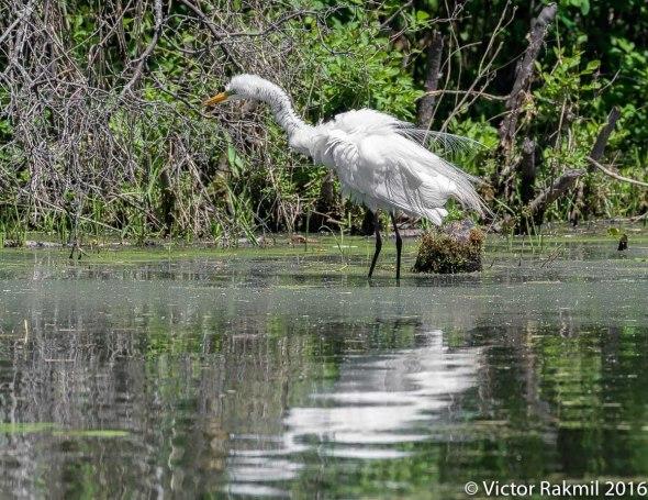 egret-in-bw-5
