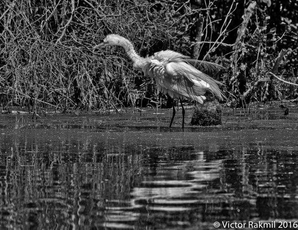 egret-in-bw-6
